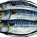 Three-Mackerel copy