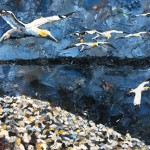 Out of Chaos Comes Order by Paul Bartlett - Limited Edition Print - Animal Art - Bird Art - Bird Island Art - Family Art - close up 2
