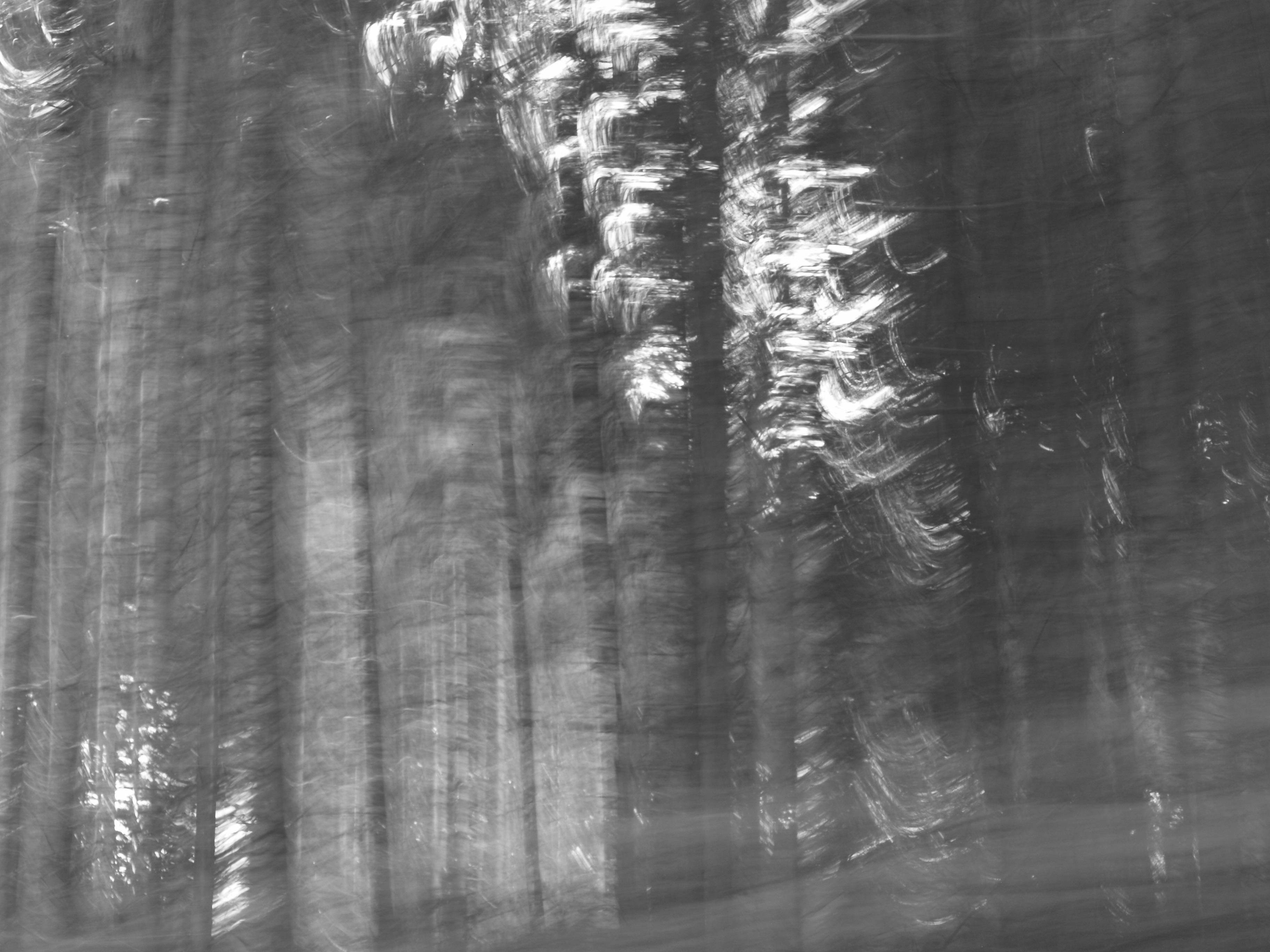 Pine Trees 5