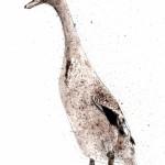 duck1-low-res-lighter-570×700