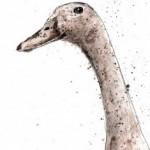 duck1-low-res-lighter-570×700 copy 8