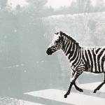 Zebra-Crossing-II copy 2