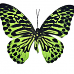 Lime Tiger Butterfly – Wychwood Art