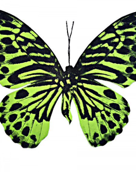 Lime Tiger Butterfly - Wychwood Art