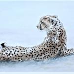 Cheeta Dusk_Wychwood Art_Annabel Pope (2)