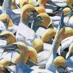GannetsOnTheBassRock-Paul-Bartlett-Wychwood-Art