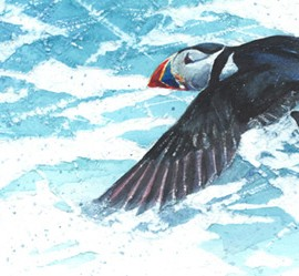 Solitary-Puffin-Paul-Bartlett-Wychwood-Art