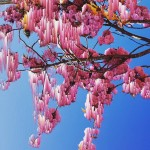 Katie Hallam   Blossom   Photograph