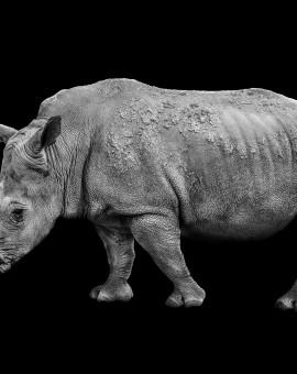 2MB rhino