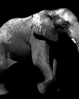 Elephantis