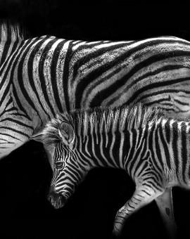 Zebras 2MB