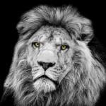 LION OFFICIL 2