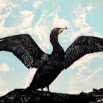Cormorant Detail 3