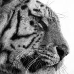 DavidHunt-Tiger1-Detail