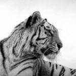 DavidHunt-Tiger1