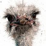ostrich 1 cropped