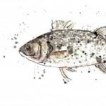 sea bass scan crop