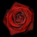 ROSE N°2