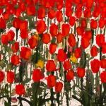 Becca Clegg Stripey Tulip Fields Wychwood Art detail 2 signature-be0042e9